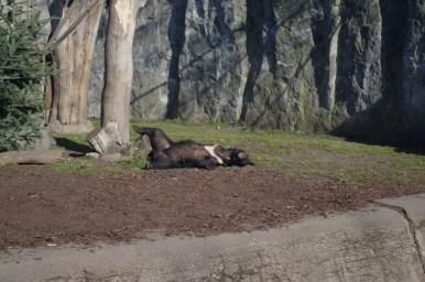 niedźwiedź himalajski z wrocławskiego zoo