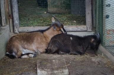 kozy w parku dzikich zwierząt w kadzidłowie na mazurach