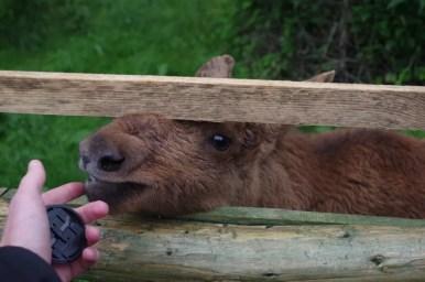 łosiek w parku dzikich zwierząt w kadzidłowie na mazurach
