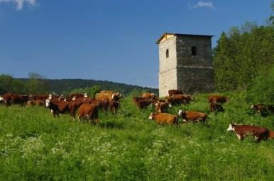 stara dzwonnica w polanach surowicznych w beskidzie niskim, obecnie już po remoncie, widoczne stado krów i buhajów