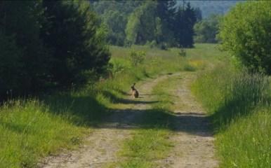 zając szarak widziany na ścieżce w dolinie jasiela w beskidzie niskim