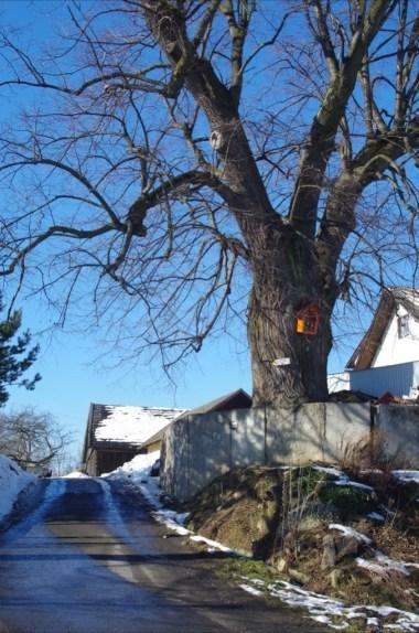 drzewo na żółtym szlaku ze starego sącza na prehybę w beskidzie sądeckim
