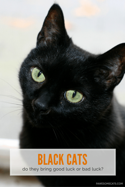 Black cats aren't only associated with bad luck and evil, in some cultures they are celebrated and seen as a sign of good luck | Black Cats – Good Luck or Bad Luck?