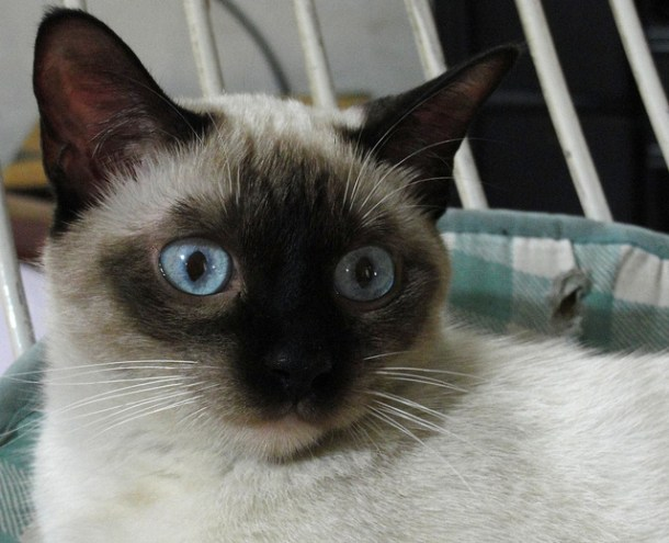 Siamese cats are typically the life of the party - extroverted, gregarious, playful and they like to stick their cute seal-point noses into everything.