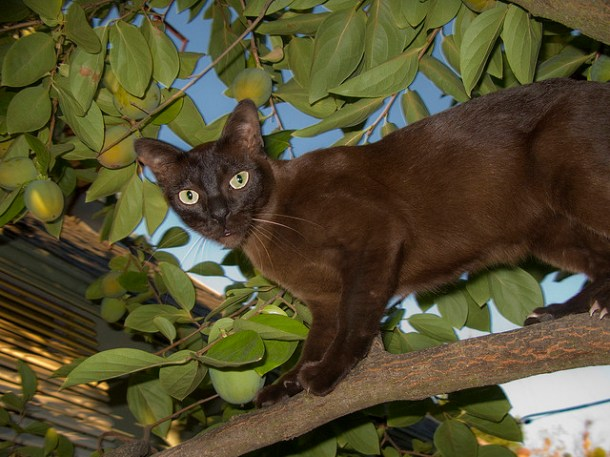 Burmese cats are often described as 'a brick wrapped in silk' which is a reference to their solid, muscled body and smooth, glossy silky coat.