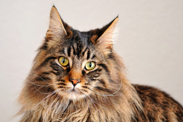 Maine Coon cats are sociable, playful and affectionate throughout their lives. They are well-known for being vocal and 'talking back'–  if you own a Maine Coon you can expect to have daily conversations with your cat.