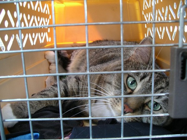 Once your cat is comfortable moving in and out of the cat carrier, you can start shutting the door when he's inside | 7 Steps to Get your Cat Used to the Cat Carrier