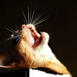Attention Seeking Behaviour in Cats