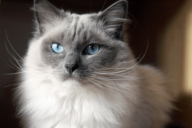 A Ragdoll cat's fur is soft, silky and luxurious to the touch, just like rabbit-fur.