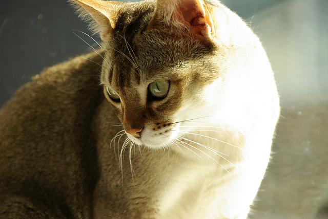 The Singapura cat is recognised in the Guinness Book of World Records as the smallest cat breed.