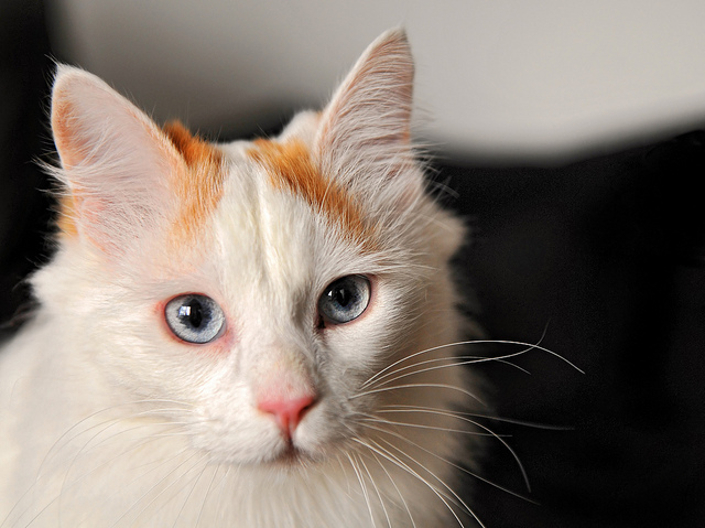 82c4228720cda7 Turkish Van cats originate from the Lake Van region in the mountains of  eastern Turkey and