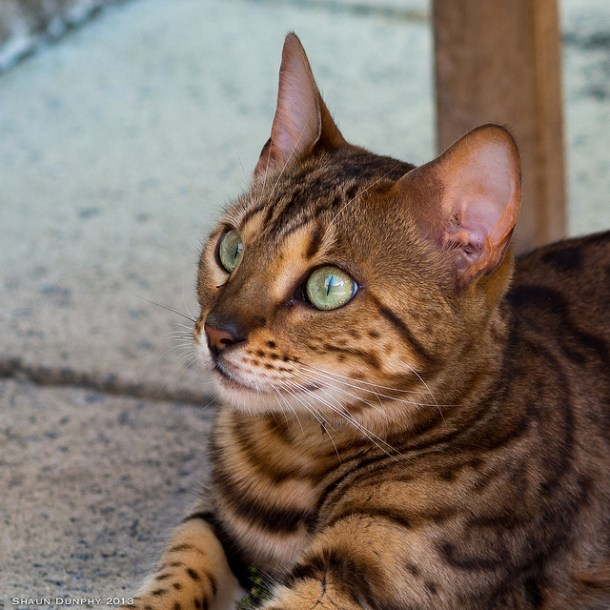"""Some Bengal cats are born with a """"glitter gene"""", which gives the Bengal's coat a hue as if it has been lightly sprinkled with gold dust."""