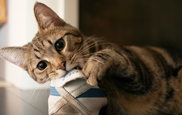How to stop destructive chewing behaviour in cats