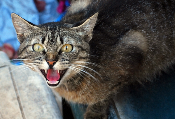 Common Causes of Aggression in Cats