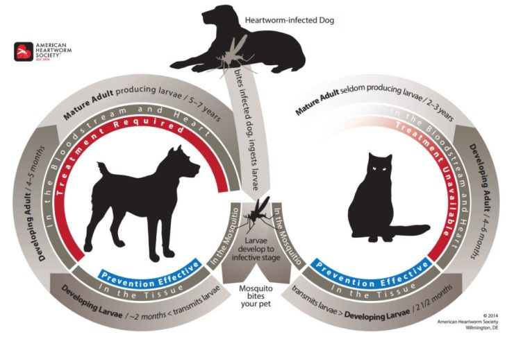 lifecycle of heartworms in cats and dogs