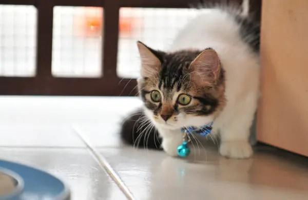 Kitten Stalking Behaviour