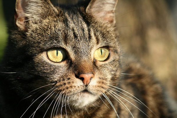 How Sensitive is Your Cat's Hearing
