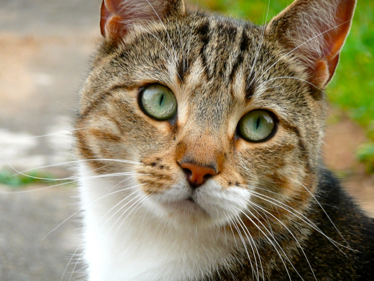 tabby and white cat with distinctive M on head