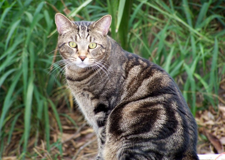 tabby cat with classic coat pattern