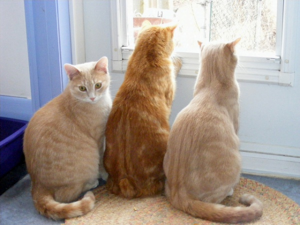 too many ginger cats