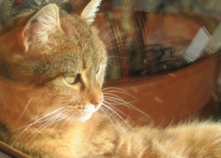 Keep your cat inside from 11am-3pm in summer, to reduce risk of heatstroke and sunburn | Summer Safety for Cats: Heatstroke and Sunburn