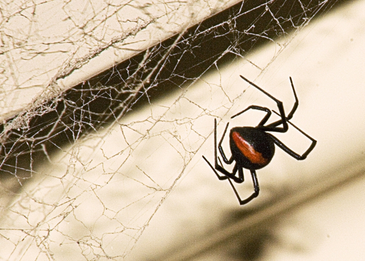 Australia is home to many poisonous spiders including the Red Back - known as the Black Widow (USA) and Katipo (NZ) | Summer Safety for Cats: Deadly Ticks and Spiders