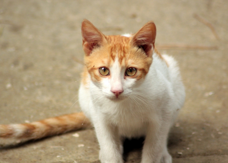 Cats with white and pale faces and ears are at greater risk of sunburn | Summer Safety for Cats: Heatstroke and Sunburn