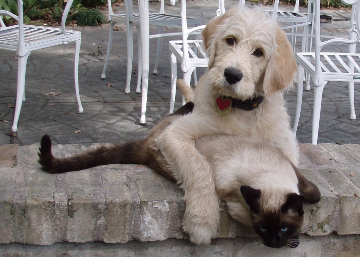 Despite the urban myth that cats and dogs hate each other, many cats and dogs live together happily and are great companions | Introducing Your Cat to a New Dog