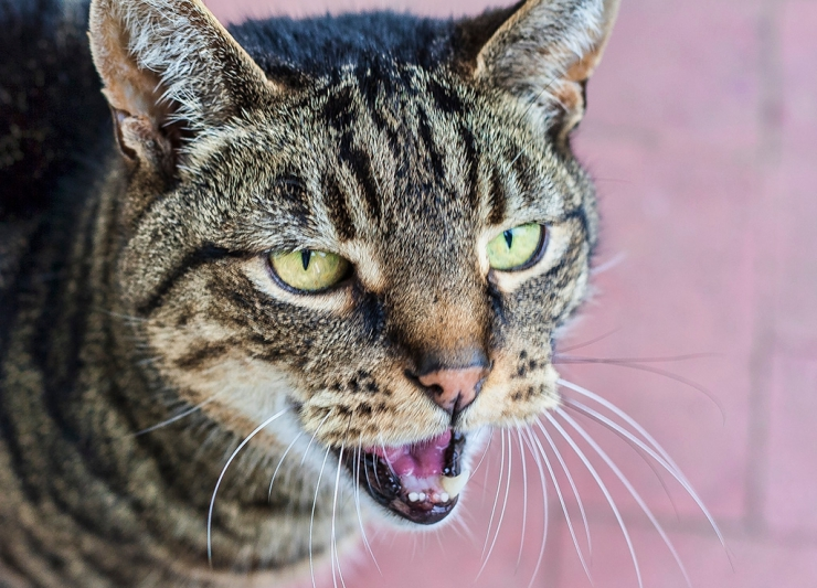 All cats are different, and how much they meow varies from cat to cat – some don't make much noise at all, while some just love to chat. | Excessive Meowing and What it Means