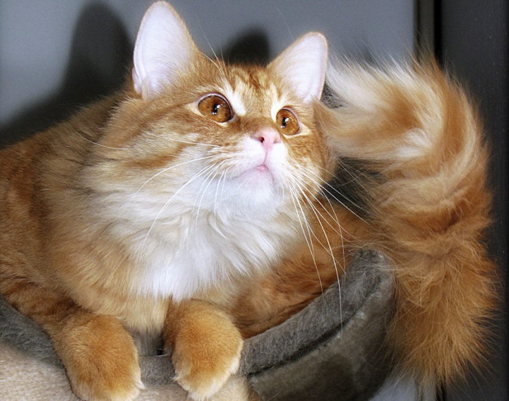 Your cat's tail is designed for balance, communication and more! Did you know that you can tell a lot about your cat's mood from the position of her tail? | Tail Talk - Your Cat's Tail and Why it's Important