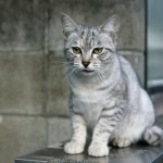 Australian Mist Cat Breed Profile
