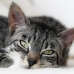 Cat Flu: Sneezes and Sniffles…or Something More Serious?