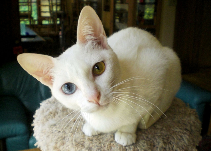 The Khao Manee have distinctive eyes which resemble a cut diamond and are most prized when they have odd eye colour combinations | Khao Manee Cat Breed Profile