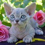 Minskin Cat Breed Profile