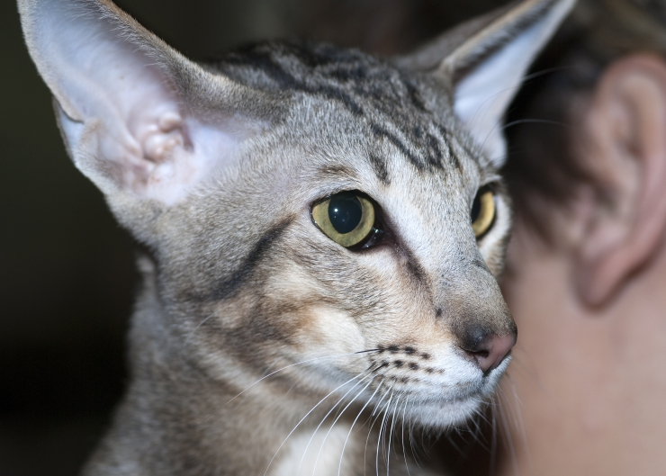 Available in a rainbow of colour combinations, the Oriental cat is a people-oriented, sociable breed who loves to be the centre of attention   Oriental Cat Breed Profile
