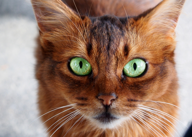 Nicknamed the 'fox cat' due to its luxurious bushy tail, the Somali is a lively and extremely agile cat who is well suited to active households | Somali Cat Breed Profile