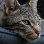 European Shorthair Cat Breed Profile