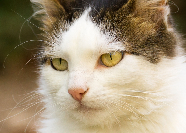 close up of white and brown cat with curly whiskers, pale green eyes and pink nose