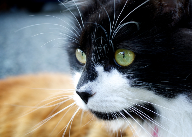 The facts of feline cancer - including common cancers, signs, diagnosis, treatment and how to reduce the risk of cancer in cats | Facts About Cancer in Cats