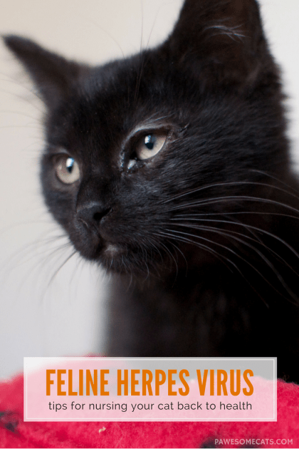 Herpes virus symptoms include sneezing, snotty-noses and eyes gummed shut. We discuss treatments and how to best nurse a cat with feline herpes virus | Herpes Virus in Cats - Symptoms and Treatment