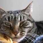 Understanding Feline Viruses: FeLV, FIV, and FIP