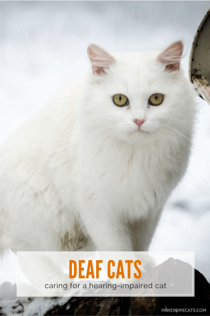 In a similar way that elderly people suffer from hearing loss so too can our cats, plus some cats are born with impaired hearing | Living With a Deaf Cat