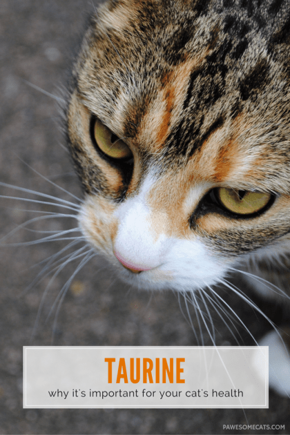 Taurine is one of the building blocks of protein, and an essential amino acid for cats which protects their eyes, heart and overall health   The Importance of Taurine in Your Cat's Diet