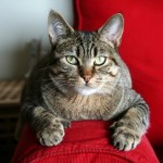 Pixie Bob cat sitting on red sofa