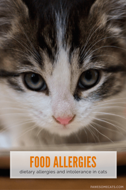 Are food allergies and intolerance in cats the same thing? Dr Pippa Elliott discusses the subtle differences between them, diagnosis and treatment. | Understanding Food Allergies and Intolerance in Cats