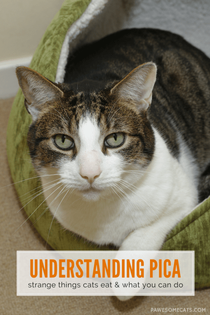 Cats are notoriously fussy eaters so what does it mean when they develop a taste for something really odd, like wool or rubber bands? | Unusual Things Cat Eat – Understanding Pica