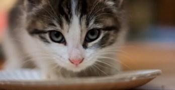 Understanding Food Allergies and Intolerance in Cats
