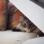 tabby cat hiding on sofa under box