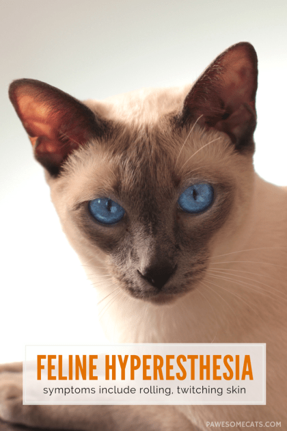 Hyperaesthesia in Cats - Does your cat have twitching or rippling skin? If you've ruled out allergies, parasites, arthritis and other medical conditions, it could be feline hyperaesthesia, an exaggerated response to stimulation.  Understanding Hyperesthesia in Cats Feline Hyperesthesia