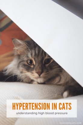hypertension in cats - understanding high blood pressure